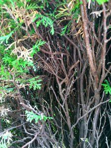 内部の枯れ枝