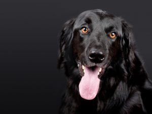 Large-dog-1194087_1280