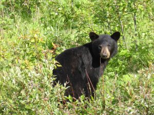 Bear-black-852350_1920