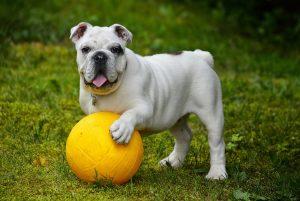 dog-ball-english-bulldog-562723_1920