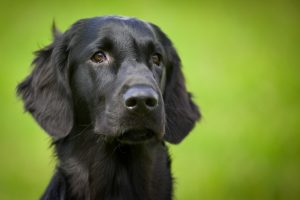 flatcoated-retriever-438010_1920