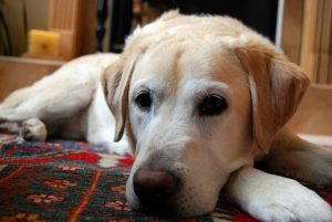 yellow-labrador-retriever-750760_1280