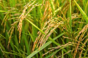 rice-1594612_1920